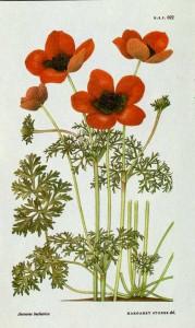 Anemone bucharica, впервые собранная в 19-ом веке в Туркестане