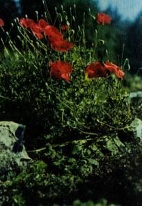 Мак альпийский в каменистой горке.