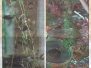 ) листья больше, чем у выращенной в обычных условиях (слева)