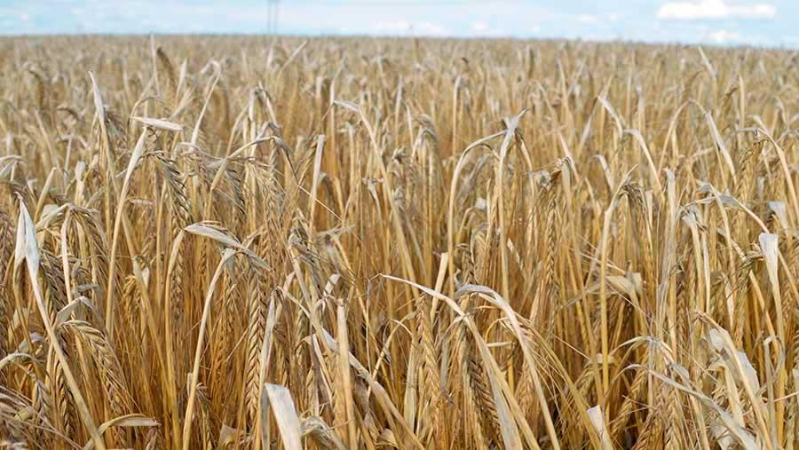 Агротехника яровых зерновых хлебов ранних сроков посева