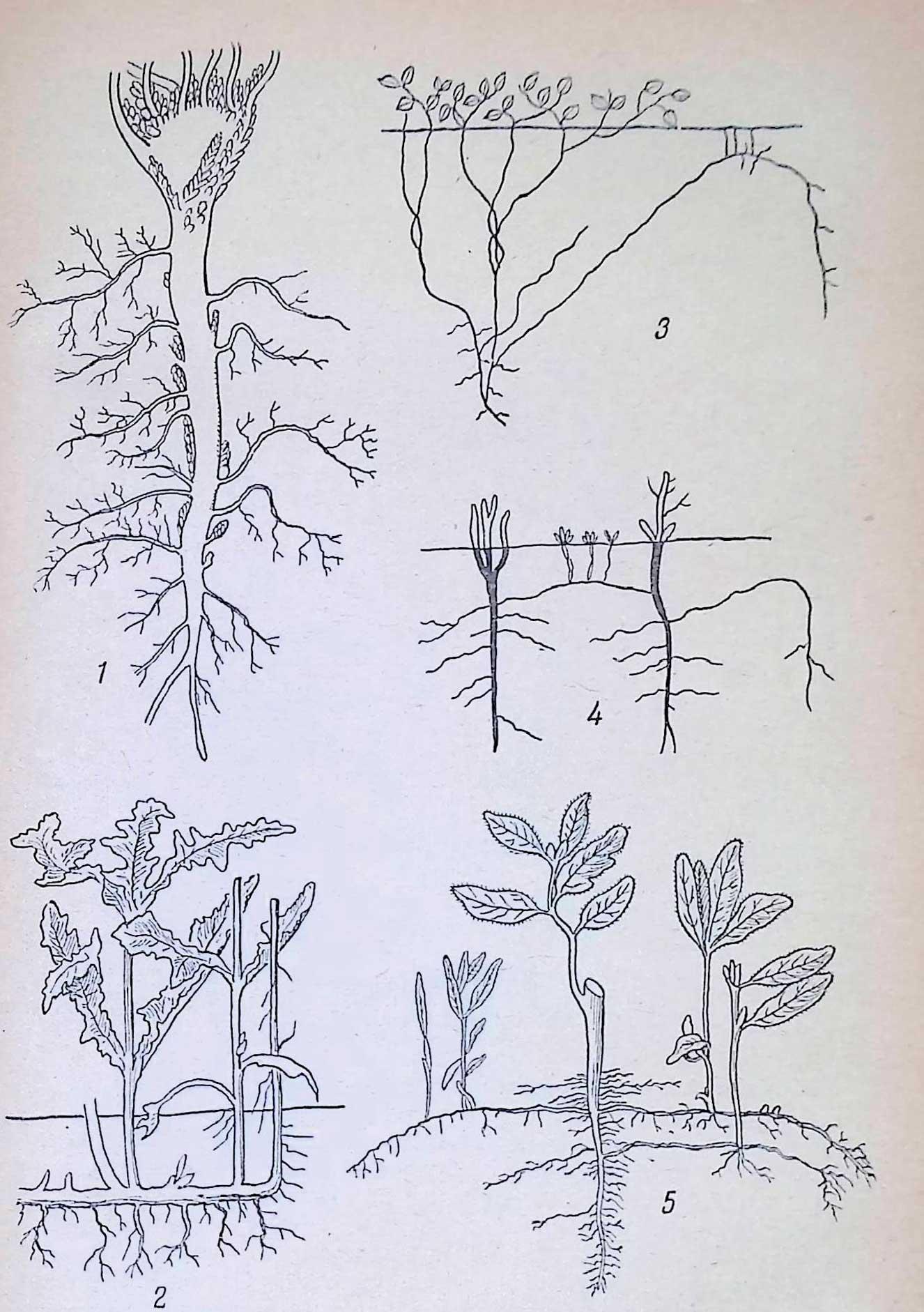 Корнеотпрысковые сорняки