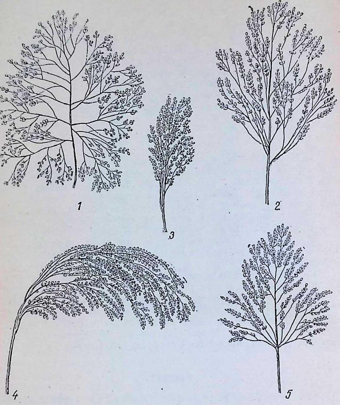 Метелки различных групп обыкновенного проса: 1 — раскидистого; 2 — развесистого; 3 — комового; -1 — пониклого; 5 — овального.