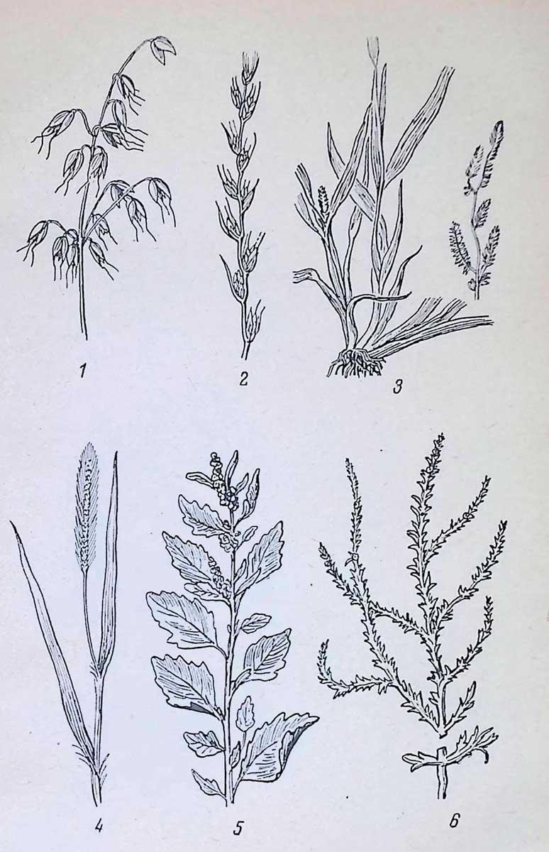 Наиболее вредные яровые сорняки: 1 — овсюг; 2 — плевел опьяняющий; 3 — просо куриное; 4 — мышей; 5 — лебеда обыкновенная; 6 — курай.