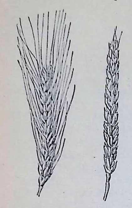 Озимая пшеница бывает
