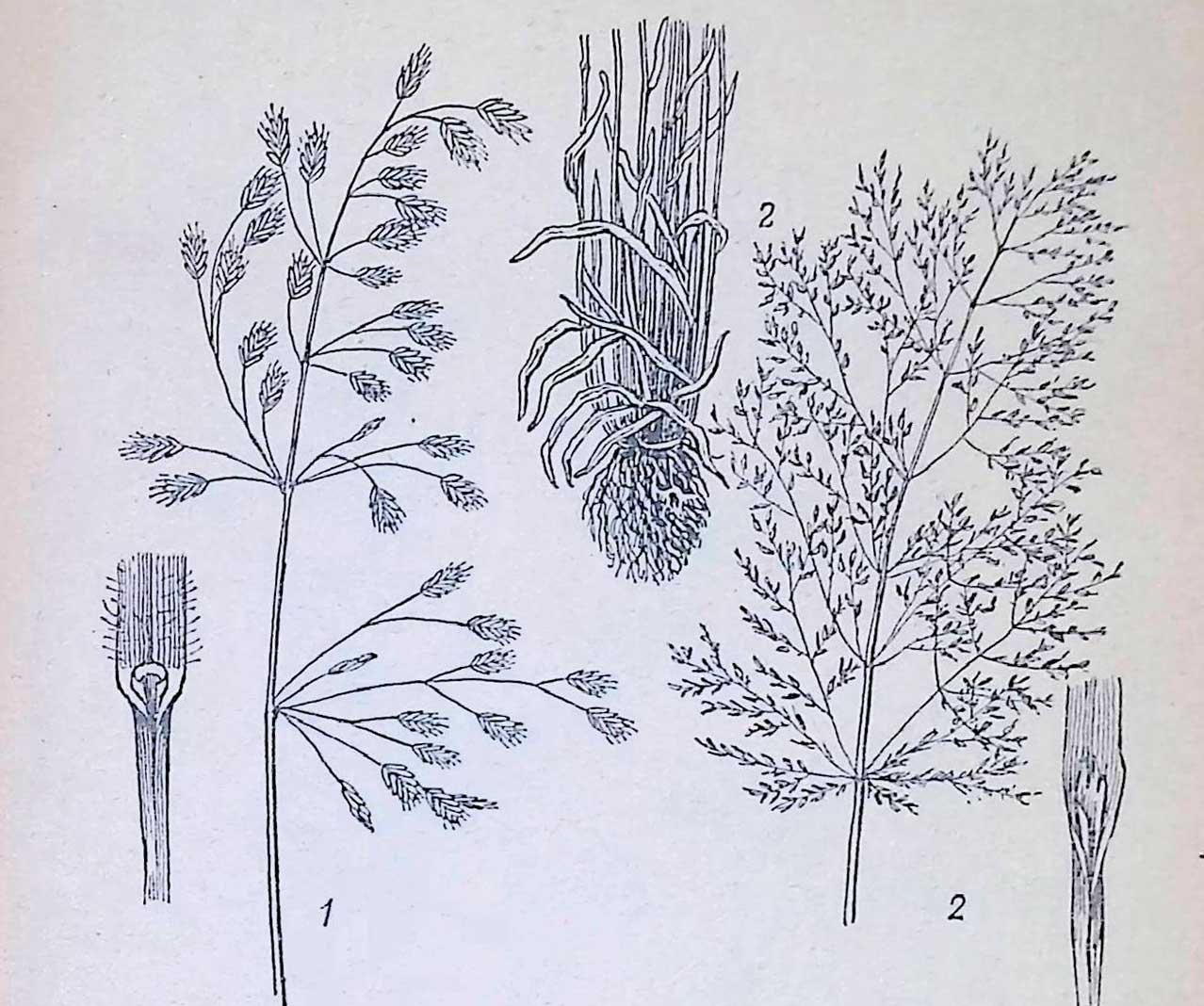 Озимые сорняки: 1 — костер ржаной; 2 — метла.