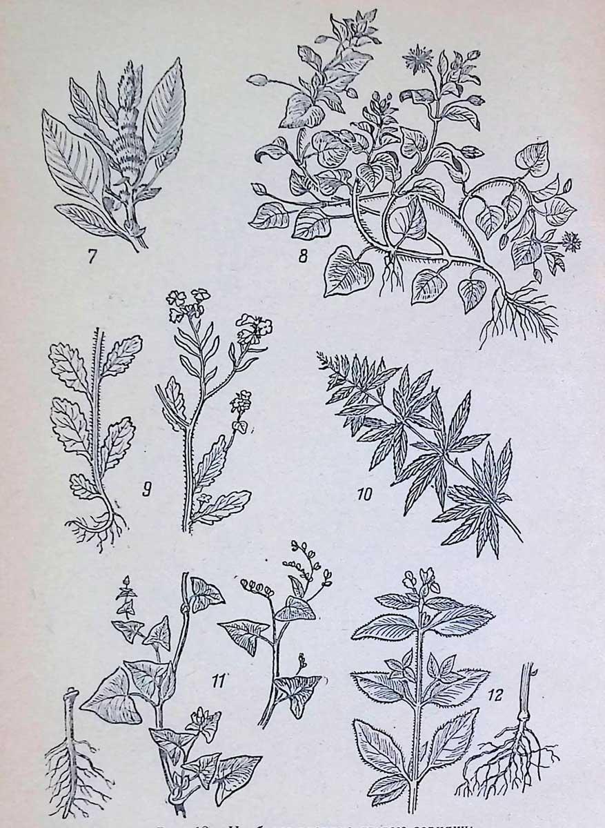 7 — щирица; 8 — мокрица; 9 — горчица полевая; 10 — конопля дикая; 11 — гречиха татарская; 12 — пикульник.