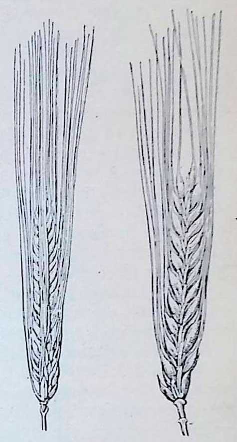 Ячмень: слева — многорядный Полярный, справа — двурядный Винер.