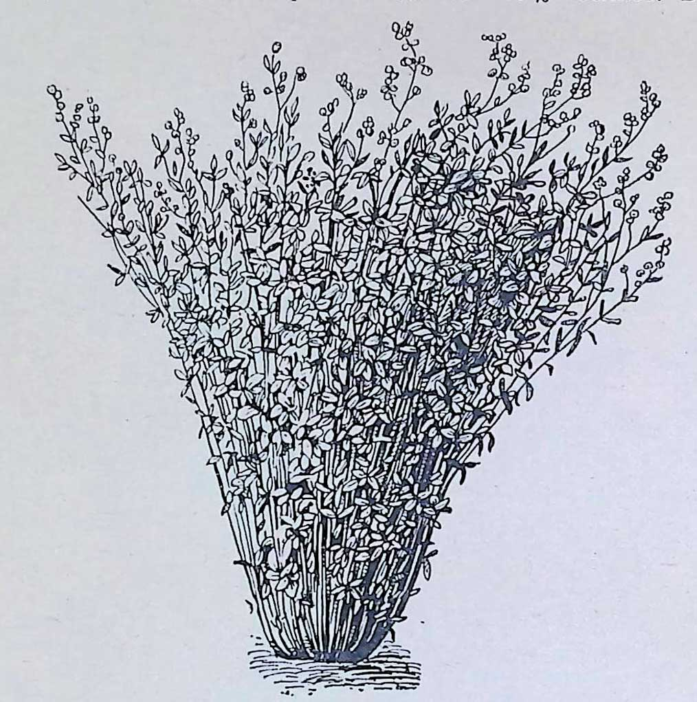 . Синяя люцерна, сорт Зайкевича (растение 3-го года жизни).