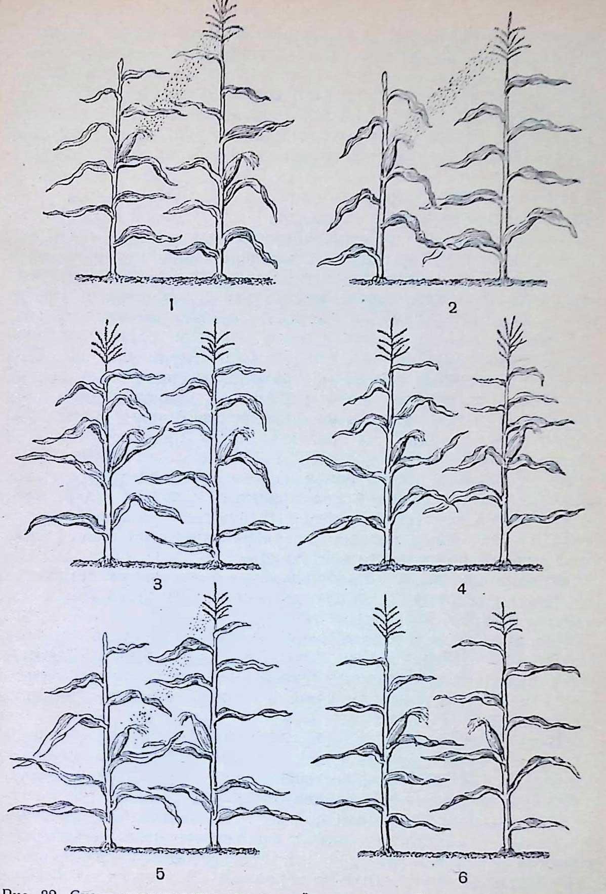 Схема производства семян двойного межлинейного гибрида кукурузы